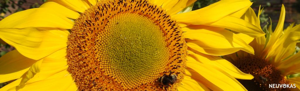 kuvituskuva: lähikuva keltaisesta auringonkukasta, jossa on mehiläinen